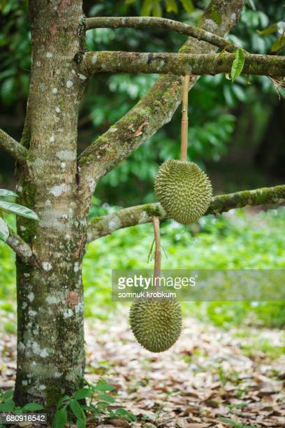 karn yaw or long brach durian in thailand - tree with thorns on trunk stock photos and pictures