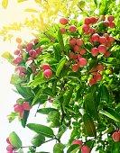 fresh fruits ripe delicious karanda carissa