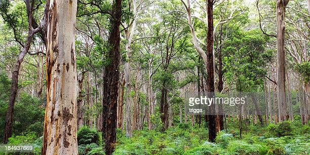 Karri forest near Margaret River, Australia