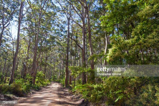 A Karri Forest With Dirt Road In The Boranup Forest In Western Australia