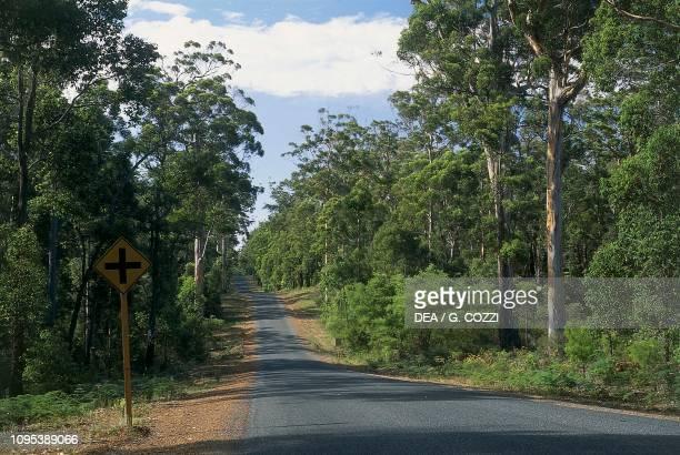 Karri trees along a road in the surroundings of Walpole Western Australia Australia
