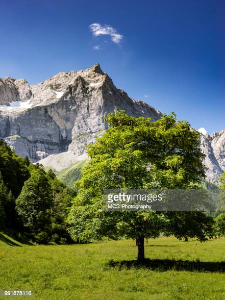 karwendel mountain range and maple tree in austria - sycamore tree stock photos and pictures