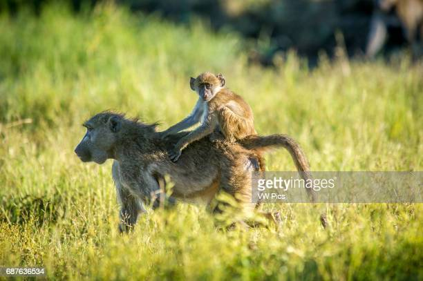 Kasane Botswana Chobe National Park Chacma Baboon