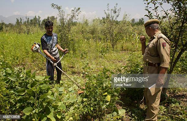 Kashmir government official along with an Indian police officer destroys illegally cultivated Cannabis or Marijuana or Indian hemp on a patch of land...