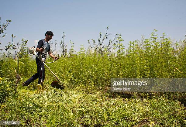 Kashmir government official destroys illegally cultivated Cannabis or Marijuana or Indian hemp on a patch of land that is cultivated by farmers for...