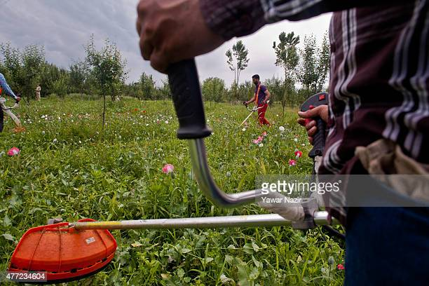 Kashmir government officials destroy an illegally cultivated poppy patch on August 15, 2014 in Krale- Chak 45 km west of Srinagar, the summer capital...