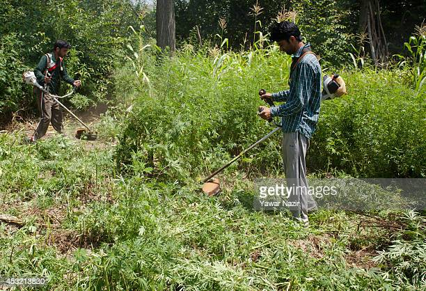 Kashmir government officials destroy illegally cultivated Cannabis or Marijuana or Indian hemp on a patch of land that is cultivated by farmers for...