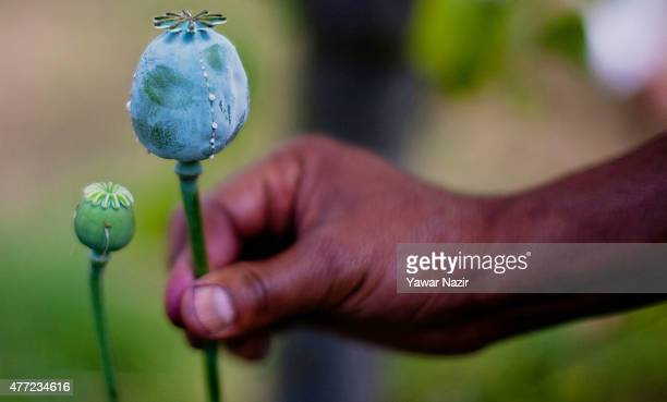 Kashmir government officials holds a poppy pod in an illegally cultivated poppy patch on August 15 2014 in Krale Chak 45 km west of Srinagar the...