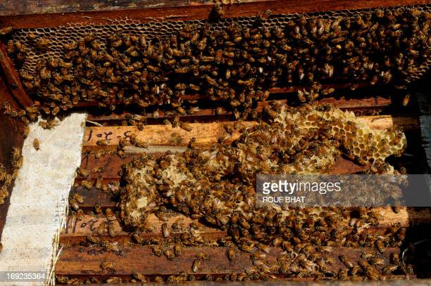 Kashmiri beekeeper Mohammad Maqbool opens a hive swarming with bees on his farm at Wuyan in southern Kashmir on May 22 2013 A colony usually has ten...