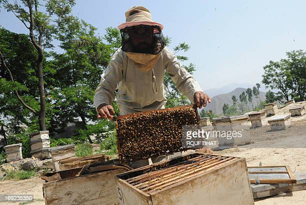 Kashmiri beekeeper Mohammad Maqbool takes a rack swarming with bees out of a hive on his farm at Wuyan in southern Kashmir on May 22 2013 A colony...