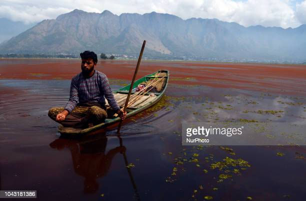 A Kashmiri boat man rows his boat in the thick mat of red algae seen spread on top of the Dal Lake on September 29 2018 in Srinagar the summer...