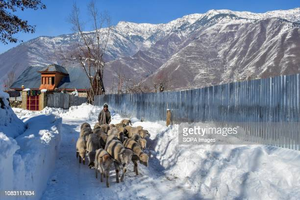 Kashmiri boy seen herding sheep through a snow covered road during a sunny winter day in Ganderbal about 50kms from Srinagar Indian administered...