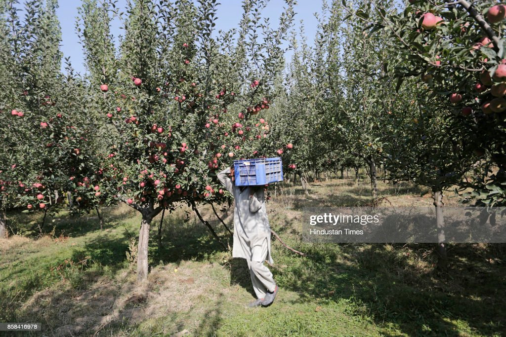 A Kashmiri farmer carries fresh apples from a tree in an orchard in Budgam, on October 5, 2017 some 20 kilometers from Srinagar, India. Apples from Kashmir are famous in South Asia and the horticulture is one of the backbones of Kashmir's economy, employing thousands of people direct and indirectly. From the mid-September growers across Kashmir region start harvesting different varieties of apple, and season goes till mid-November.