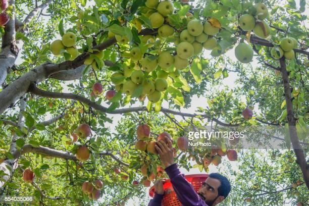 A Kashmiri farmer picks fresh apples from a tree in an orchard during harvesting season on September 25 2017 in Shupain south of Srinagar the summer...