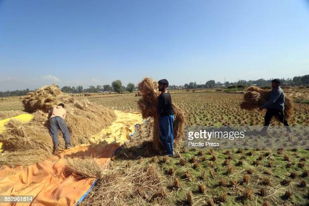 Kashmiri farmers carries harvested paddy at a rice field in tral south of Kashmir Agriculture is the main source of food income and employment in...