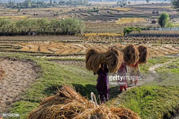 Kashmiri farmers carry lumps of grass to make hay bales in a paddy field during harvesting season on September 22 2017 in Lolaab north of Srinagar...