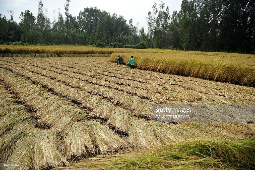 INDIA-KASHMIR-UNREST-HARVEST : News Photo