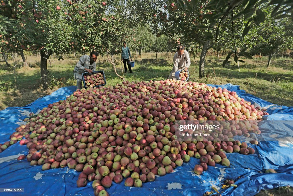Kashmiri farmers picks fresh apples from a tree in an orchard in Budgam, on October 5, 2017 some 20 kilometers from Srinagar, India. Apples from Kashmir are famous in South Asia and the horticulture is one of the backbones of Kashmir's economy, employing thousands of people direct and indirectly. From the mid-September growers across Kashmir region start harvesting different varieties of apple, and season goes till mid-November.