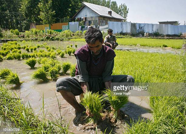 Kashmiri farmers sits ankledeep in muddy rice paddy transplanting rice saplings during the sowing season on May 31 2010 in Pulwama 50 km south of...
