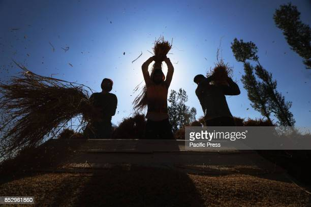 Kashmiri farmers thresh paddy after harvest in tral south of Kashmir Agriculture is the main source of food income and employment in rural areas