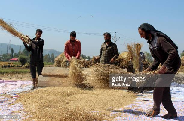 Kashmiri farmers thresh rice in a paddy after harvesting on September 20 2017 in south Kashmirs Anantnag district some 70 kilometers from summer...