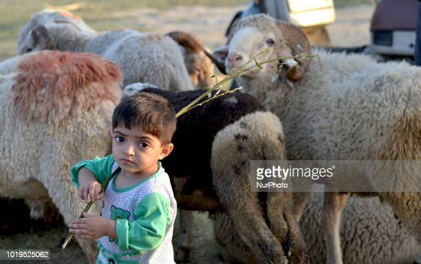 A Kashmiri goat seller waits for customers for the upcoming Muslim festival in a market with herd of goat ahead of EidulAdha festival in Srinagar the...