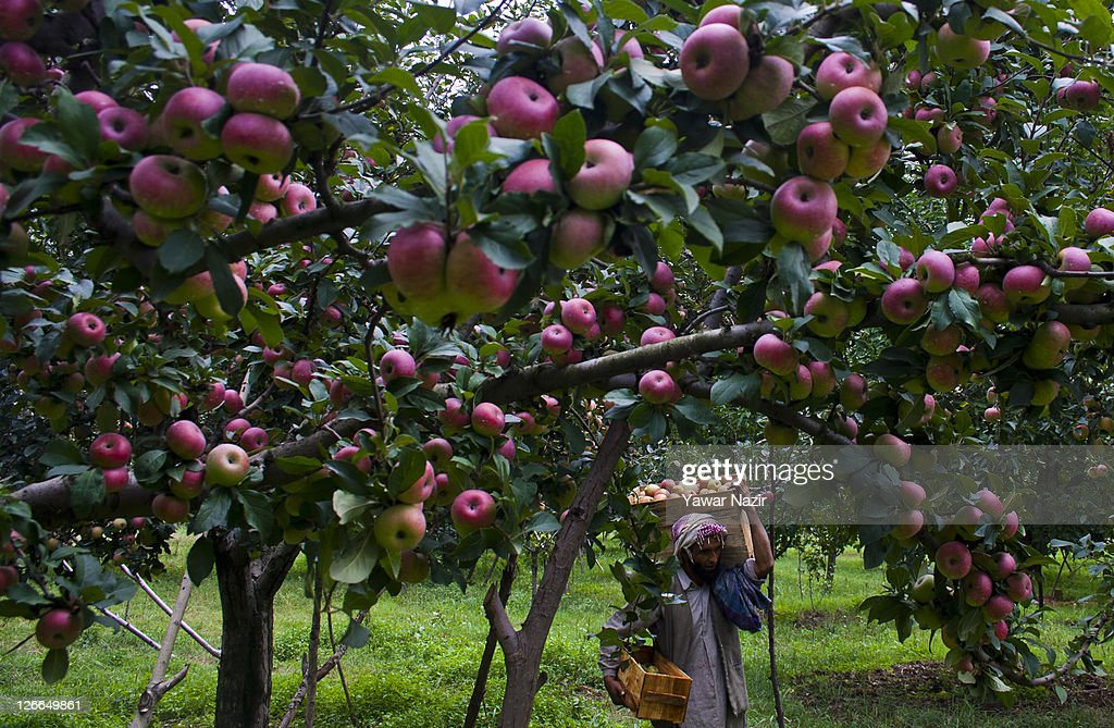 Fruit Picking Orchard Destinations Of India