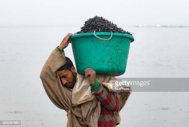 A Kashmiri man carrying a tub full of water chestnuts unload his vessel full of water chestnuts after extracting them from the lake each year from...