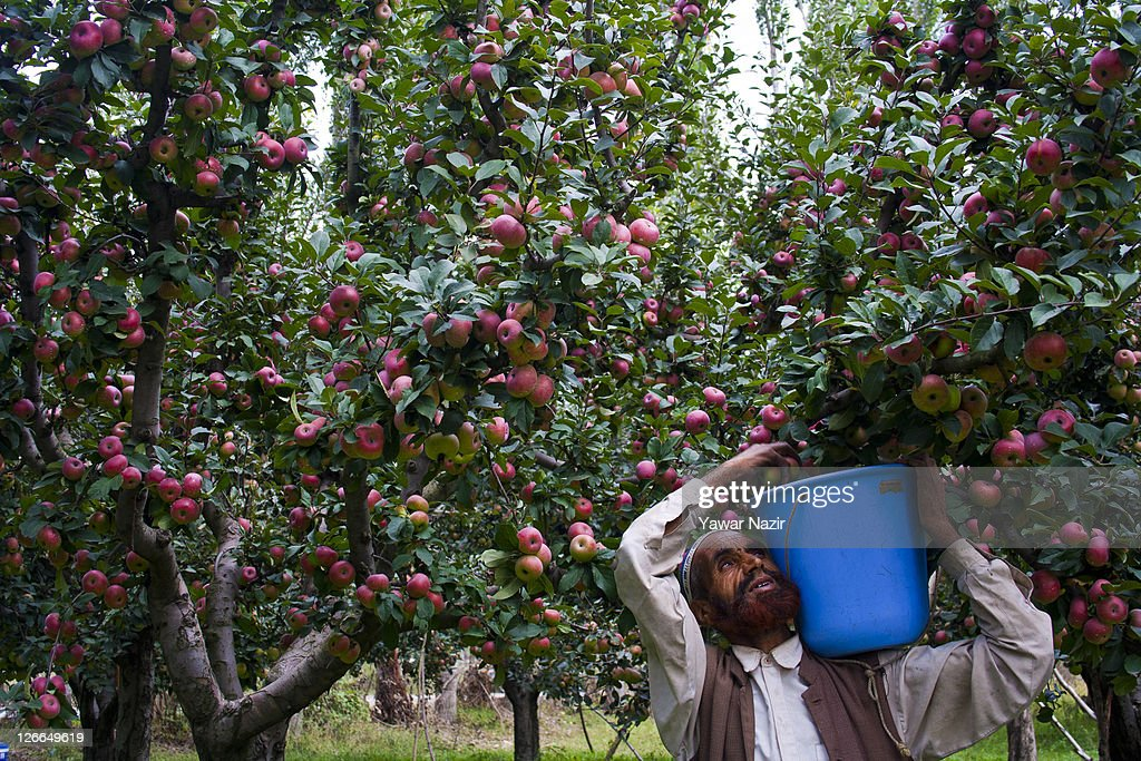 A Kashmiri Man Picks Apples From Trees In An Orchard On September 26 2011