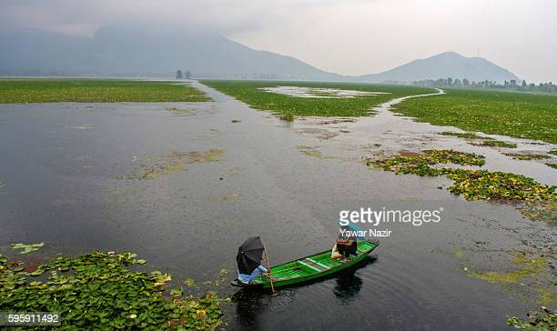 Kashmiri man rows a boat next to the floating lotus garden in Dal lake on August 26 2016 in Srinagar the summer capital of Indian administered...