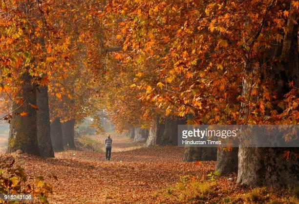 Kashmiri man walk past majestic Chinar trees during Autumn season in Nishat Bagh on November 10, 2017 in Srinagar, India.