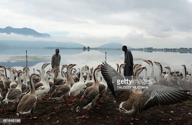 Kashmiri men feed geese on the shores of Dal Lake in Srinagar on July 23 2015 AFP PHOTO / Tauseef MUSTAFA