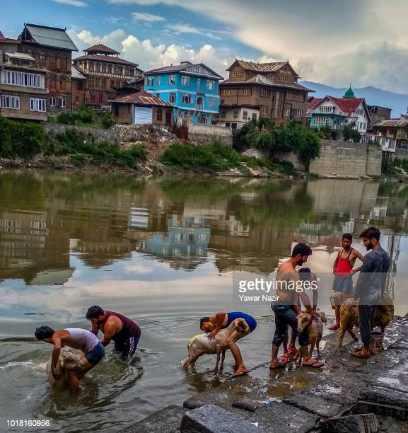 Kashmiri men wash their sheep in the Jehlum river on August 17 2018 in Srinagar the summer capital city of Indianadministered Kashmir ahead of...