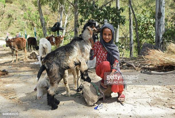 A Kashmiri Muslim Bakarwal nomad girl is pictured with goats at a temporary camp near Udhampur some 72 kms north of Jammu on April 18 2018 Nationwide...