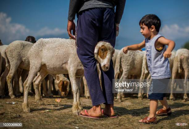 Kashmiri Muslim child plays with a sacrificial sheep kept on sale in a market, before the upcoming Muslim festival Eid al-Adha on August 20, 2018 in...