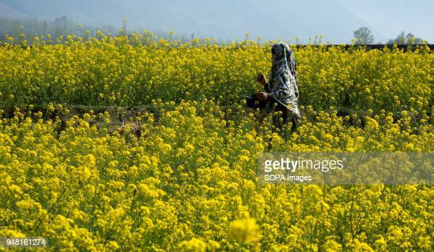 Kashmiri Muslim girl walks through a full bloom mustard field in the outskirts of Srinagar the summer capital of Indian administered Kashmir India...