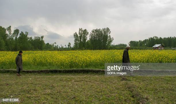 Kashmiri Muslim man and a young boy walks alongside a mustard field in the outskirts of Srinagar the summer capital of Indian administered Kashmir...