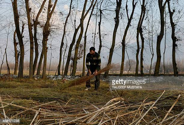 A Kashmiri Muslim man cuts wicker trees on the outskirts of Srinagar on December 20 2013 The wicker is mostly used in the making of traditional...