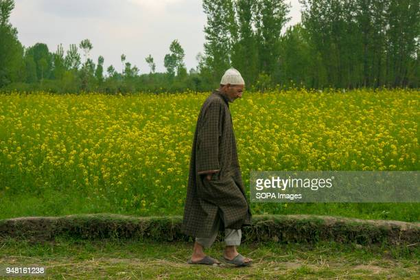 Kashmiri Muslim man walks alongside a mustard field in the outskirts of Srinagar the summer capital of Indian administered Kashmir India According to...