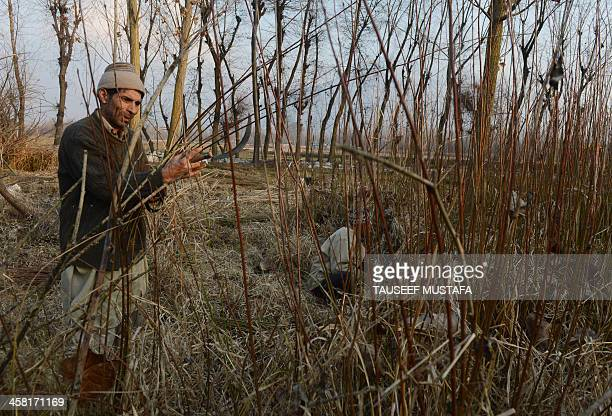 Kashmiri Muslim men cut wicker trees on the outskirts of Srinagar on December 20 2013 The wicker is mostly used in the making of traditional heating...