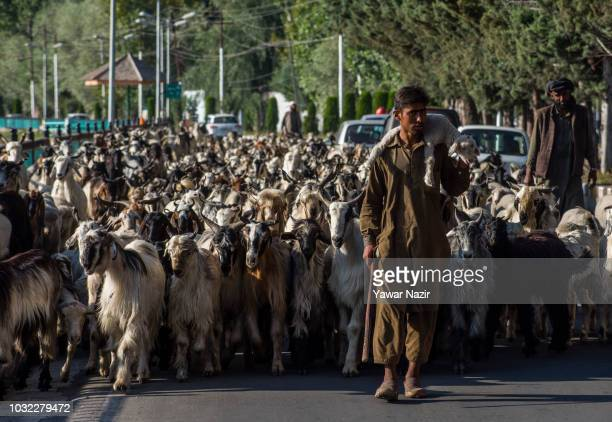 Kashmiri Muslim nomad shoulders a lamb as it's livestock follows him on September 12 2018 in Srinagar the summer capital of Indian administered...
