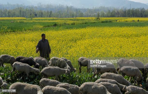 Kashmiri Muslim shepherd graze his cattle on a mustard field in the outskirts of Srinagar the summer capital of Indian administered Kashmir India...