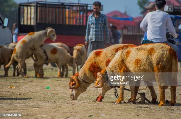 Kashmiri Muslim shepherd waits for Muslim customers as he sells sheep in a market , before the upcoming Muslim festival Eid al-Adha on August 20,...