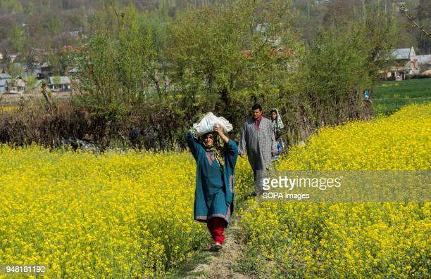 Kashmiri Muslim woman along with her family walks through the full bloom mustard field in the outskirts of Srinagar the summer capital of Indian...