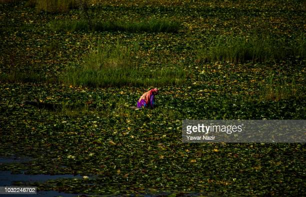 Kashmiri Muslim woman collects water lilies from Dal lake in her Shikara boat lake on September 12 2018 in Srinagar the summer capital of Indian...