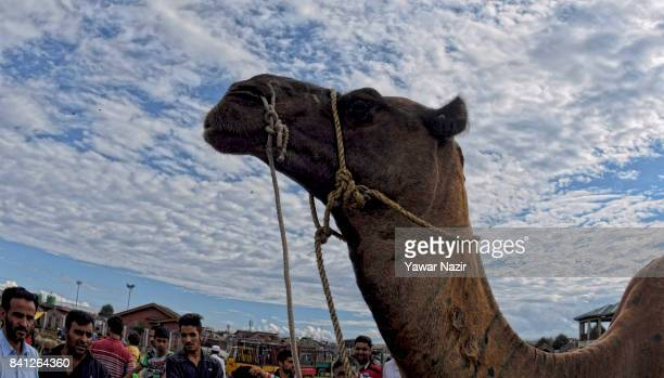 Kashmiri Muslims gather around a camel transported to a market all the way from the Indian state of Rajasthan before the upcoming Muslim festival Eid...