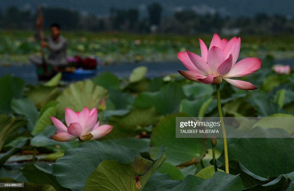 Kashmiri Muslims Row A Boat Near Lotus Flowers In Bloom On