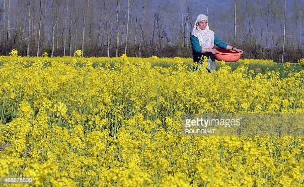 Kashmiri Muslims woman walks in a mustard field in full bloom on the outskirts of Srinagar on April 5 2015 According to the Directorate of...