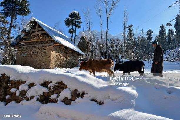 Kashmiri nomad seen herding cows during a sunny winter day in Ganderbal about 50kms from Srinagar Indian administered Kashmir The valley witnessed a...