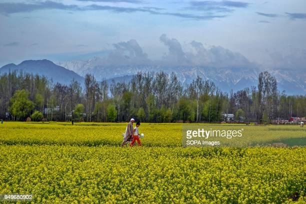 Kashmiri residents walk through a mustard field in Awantipora 35kms south of Srinagar Indian administered Kashmir According to the Directorate of...